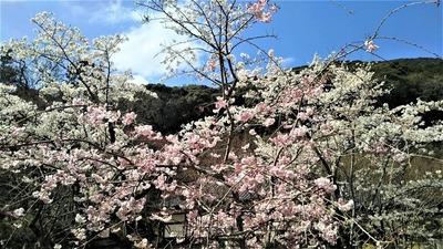 大寧寺の桜7.jpg