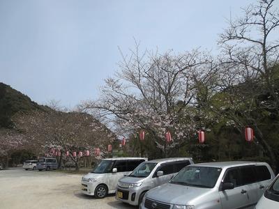 大寧寺桜2.jpg