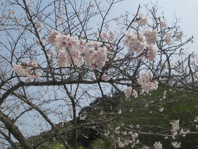 大寧寺桜4.jpg