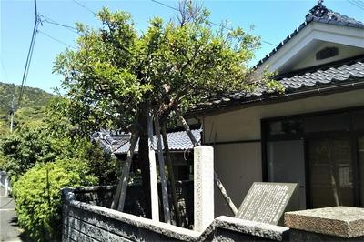 大日比ナツミカン原樹.jpg