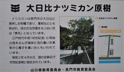 大日比ナツミカン原樹説明.jpg