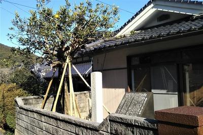大日比夏みかん原樹.jpg