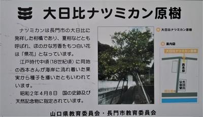 大日比夏みかん原樹説明.JPG