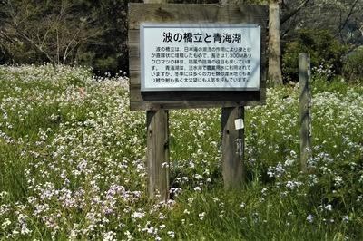 大根の花1.jpg