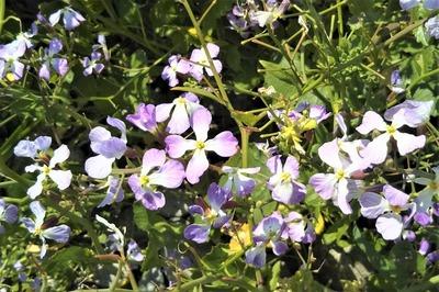 大根の花4.jpg