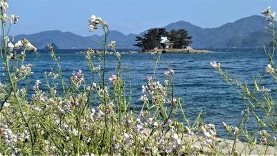 大根の花と弁天島.jpg