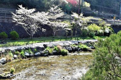 大谷山荘前の桜2.jpg