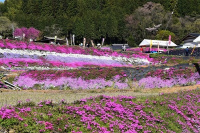 大道理芝桜1.jpg