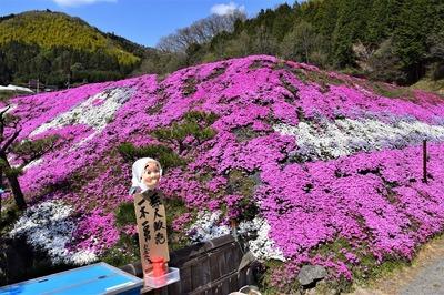 大道理芝桜2.jpg