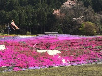 大道理芝桜まつり.JPG