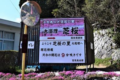 大道理芝桜開花情報.jpg