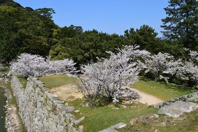 天守閣の桜1.jpg