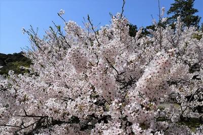 天守閣の桜2.jpg
