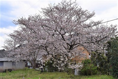 奥村さんの桜.jpg