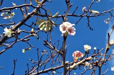 季節外れの桜2.jpg