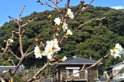 季節外れの桜3.jpg