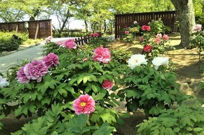 宇部市ときわ公園・ぼたん苑2.jpg