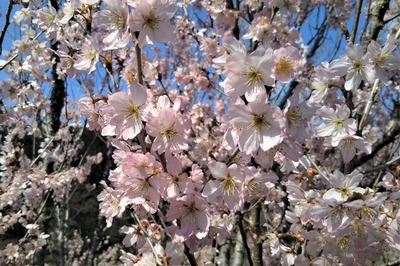 安藤庭園の季節の花4.jpg