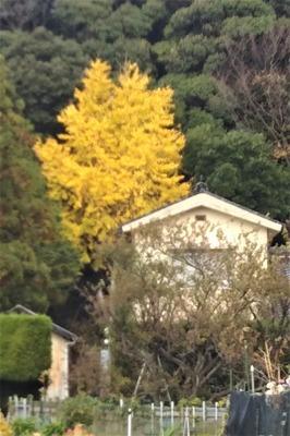 屋根より高いイチョウの木1.jpg