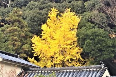 屋根より高いイチョウの木2.jpg
