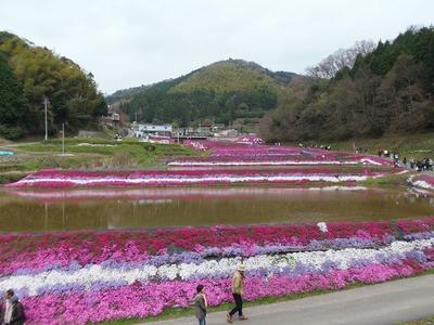 展望所から芝桜2.jpg