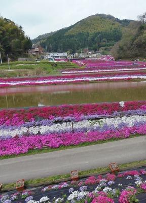 展望所から芝桜3.jpg