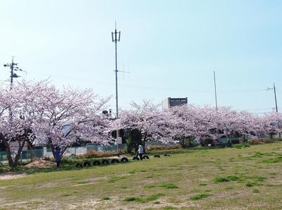 市道側の桜1.jpg