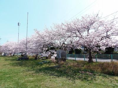 市道側の桜2.jpg