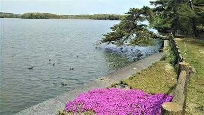 常盤湖とシバザクラ.jpg