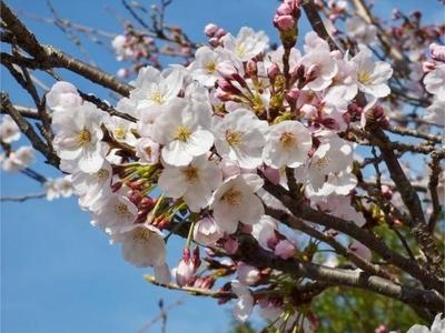 広島の桜.jpg