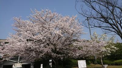 広島市牛田の桜.JPG
