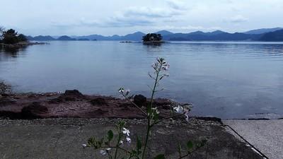弁天島と大根の花1.jpg