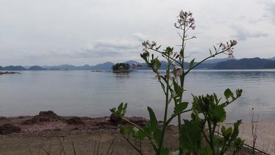 弁天島と大根の花2.jpg