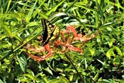 彼岸花と蝶.jpg
