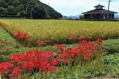 彼岸花と黄金色の田んぼ.jpg