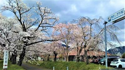 徳佐八幡宮しだれ桜道しるべ.jpg
