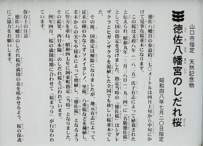 徳佐八幡宮のしだれ桜.jpg
