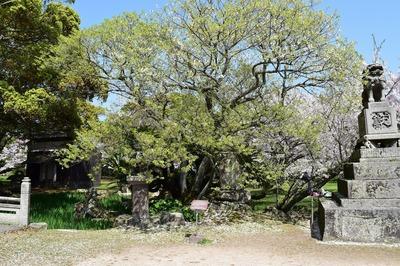 志都岐山神社のミドリヨシノ.jpg