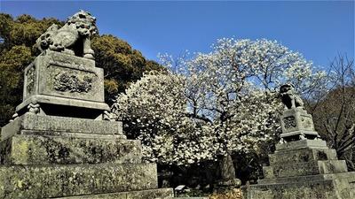 志都岐山神社のミドリヨシノ4.jpg