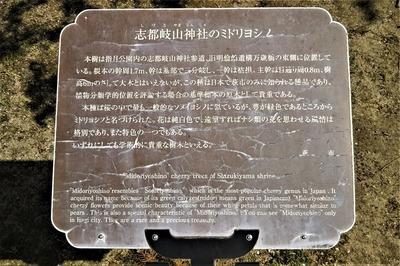 志都岐山神社のミドリヨシノ説明.jpg