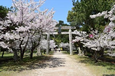 志都岐神社鳥居と桜.jpg