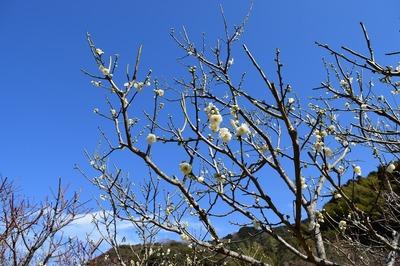 手入れされた梅の花1.jpg