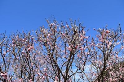 手入れされた梅の花2.jpg