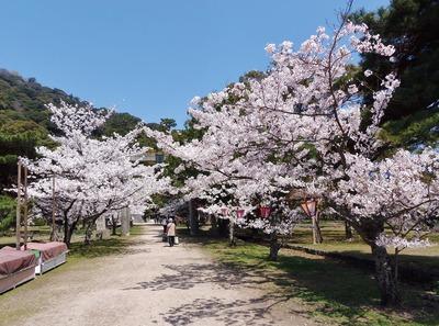 指月公園の桜1.jpg