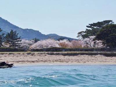 指月公園の桜2.jpg