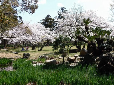 指月公園の桜3.jpg