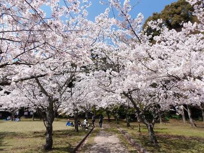 指月公園の桜4.jpg