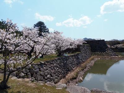 指月公園の桜5.jpg