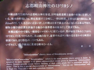 支都岐山神社ミドリヨシノ説明.jpg