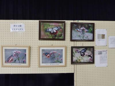 旅する蝶アサギマダラ1.jpg